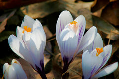 Crocus Stock Photo
