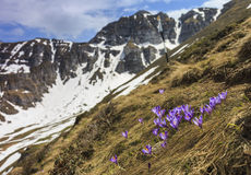 Crocus flowers and mountain landscape Stock Photography