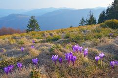 Crocus flowers in the mountains Royalty Free Stock Photos
