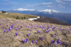 Crocus flowers in the mountains Stock Photos