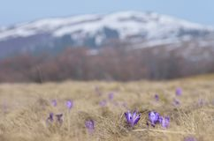 Crocus flowers in the mountains Royalty Free Stock Photography
