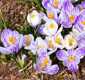 Crocus flowers in a mulched garden Royalty Free Stock Photo