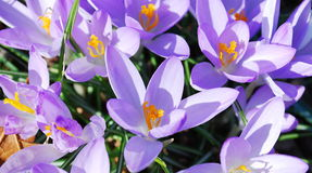Crocus flowers in the park Stock Image