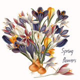 Crocus flowers in pastel colors. Vector realistic illustration Royalty Free Stock Photo
