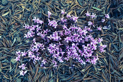 Crocus flowers on the pine needles in the forest. Nature. Stock Photo