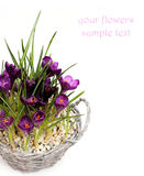 Crocus flowers in pot, isolated Royalty Free Stock Photos
