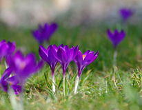 Crocus flowers, Slovakia Royalty Free Stock Photo