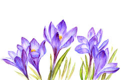 Crocus flowers snowdrop. Painted watercolor card with crocus flowers snowdrop Stock Image