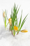 Crocus flowers, snowdrops Royalty Free Stock Photography
