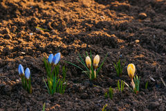 Crocus flowers in the soil Stock Photos
