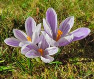 Crocus flowers. Some violet crocus flowers in sunny ambiance Stock Photo