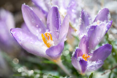 Crocus flowers in spring Royalty Free Stock Image