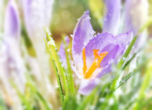 Crocus flowers in spring Stock Photography