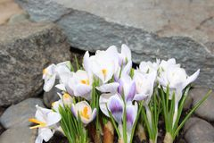 Crocus flowers spring bloom in the garden.  Royalty Free Stock Image