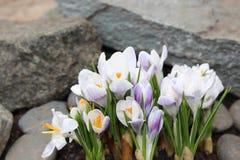 Crocus flowers spring bloom in the garden.  Stock Images