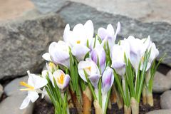 Crocus flowers spring bloom in the garden.  Royalty Free Stock Images