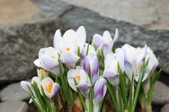 Crocus flowers spring bloom in the garden.  Stock Photos