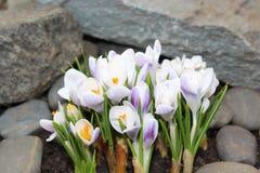 Crocus flowers spring bloom in the garden.  Stock Photo