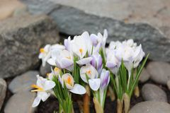 Crocus flowers spring bloom in the garden.  Royalty Free Stock Photography