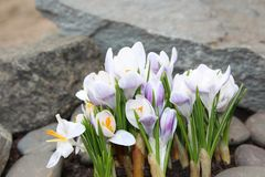 Crocus flowers spring bloom in the garden.  Royalty Free Stock Photo