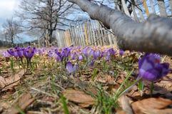 Crocus flowers stock image