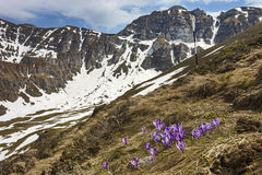 Crocus flowers and spring landscape in the mountains Stock Image