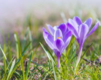 Crocus flowers on the spring meadow Stock Photos