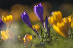 Crocus flowers in a spring morning