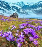 Crocus flowers on spring mountain and glacier. Blooming purple violet Crocus alpine flowers on spring mountain plateau with view to alpine glacier. Vertical high royalty free stock images