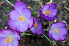 Crocus flowers in spring. Purple Crocus flowers in a garden on a spring day Royalty Free Stock Image