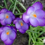 Crocus flowers in spring. Purple Crocus flowers in a garden on a spring day Royalty Free Stock Photo