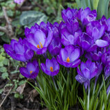Crocus flowers in the spring time Royalty Free Stock Photo
