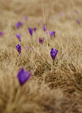 Crocus flowers on springtime Royalty Free Stock Images