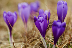Crocus flowers on springtime Stock Photo