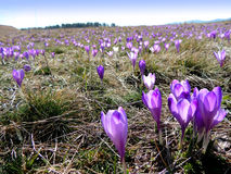 Crocus flowers. Springtime on Mountain Zlatibor, crocus flowers Stock Image