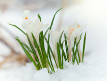 Crocus in the snow. Crocus flowers sprouted through the snow royalty free stock image