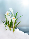 Crocus in the snow near brook. Crocus flowers sprouted through the snow stock images
