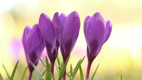 Crocus flowers static stock video
