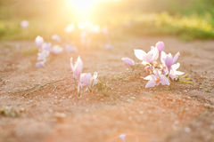 Crocus flowers in sunlight Royalty Free Stock Photography
