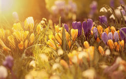 Crocus flowers in the sunshine Royalty Free Stock Photography