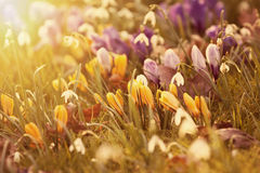 Crocus flowers in the sunshine Royalty Free Stock Photos