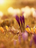 Crocus flowers in the sunshine Stock Photography