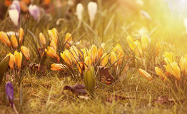 Crocus flowers in the sunshine Royalty Free Stock Photo