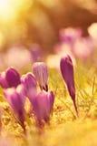 Crocus flowers in the sunshine Stock Photo