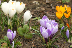Crocus flowers various colored Royalty Free Stock Photography