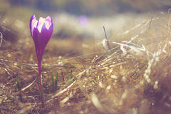 Crocus flowers in the warm rays of spring. Filtered image:cross processed vintage effect royalty free stock image