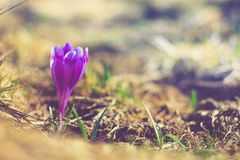 Crocus flowers in the warm rays of spring. Filtered image:cross processed vintage effect stock images