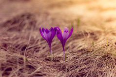 Crocus flowers in the warm rays of spring. View of crocus flowers in light of the evening rays in close-up Royalty Free Stock Photography