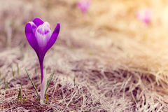 Crocus flowers in the warm rays of spring. View of crocus flowers in light of the evening rays in close-up Stock Image