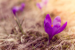Crocus flowers in the warm rays of spring. Stock Photos